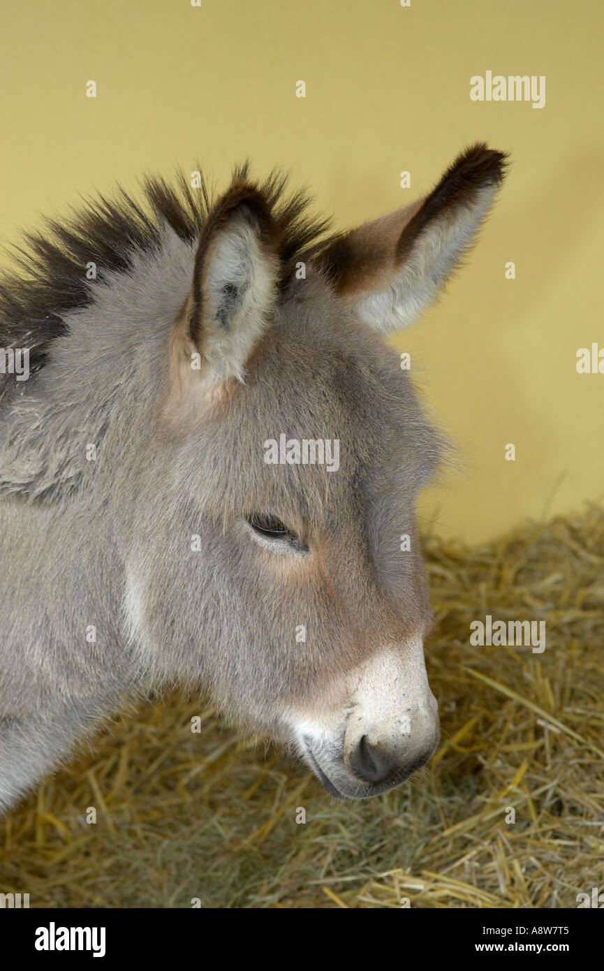 Miniature Donkey Stock Photos & Miniature Donkey Stock