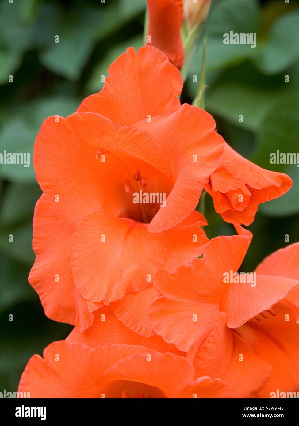 Close Up Of Red Iris Flower Stock Photo 6960130 Alamy