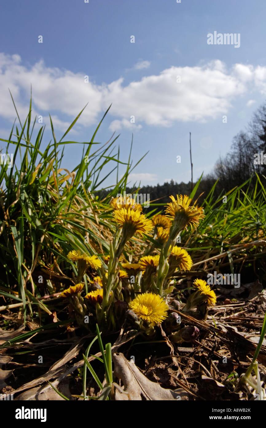 Coltsfoot (Tussilago farfara) on spring meadow - Stock Image