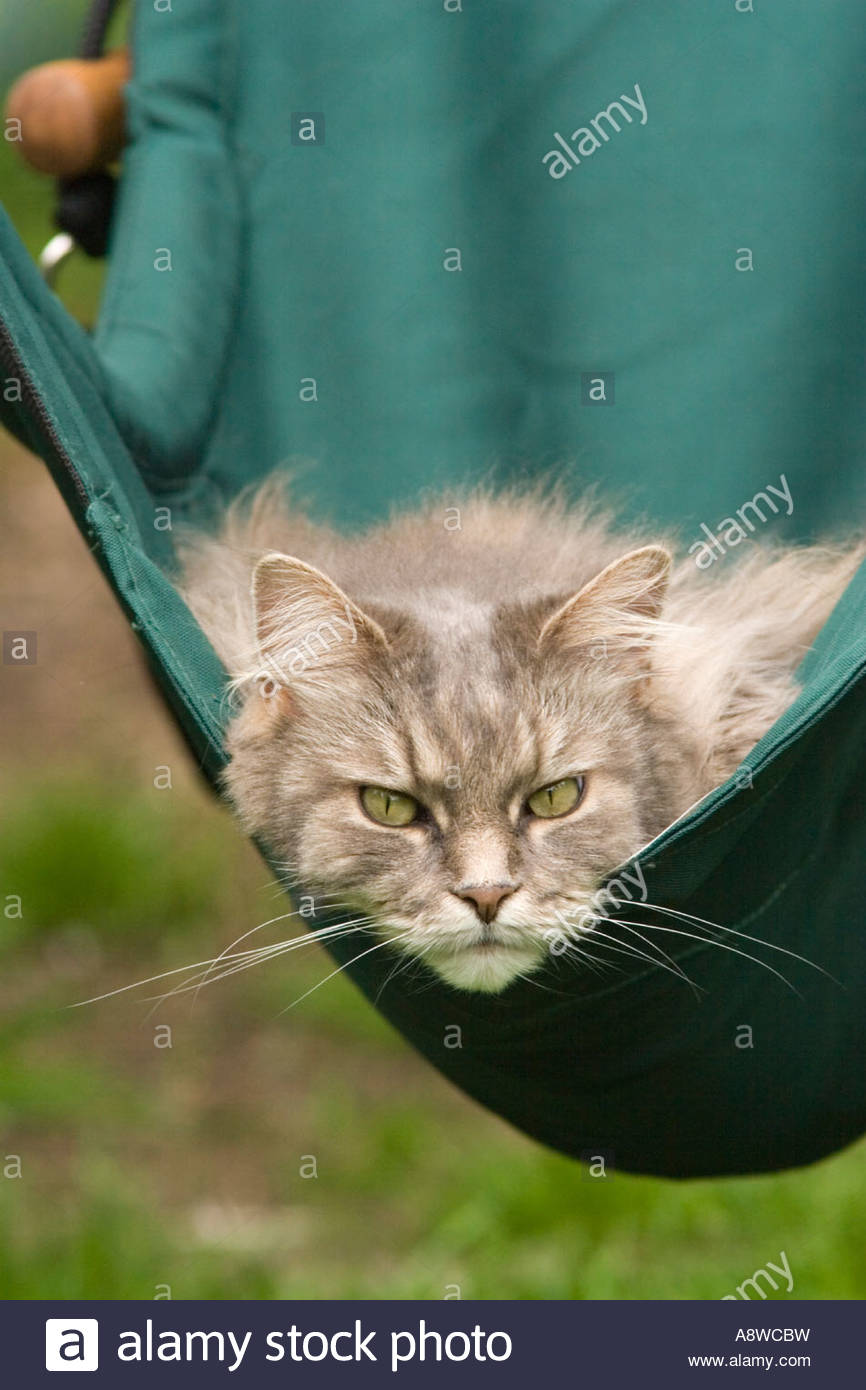 Grey Maine Coon Tabby Cat Relaxing In A Hammock Chair Stock