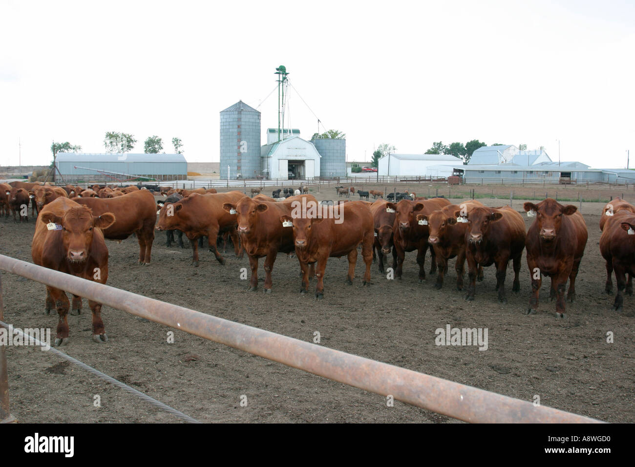 Feedlot where cows are fattened and raised for slaughter