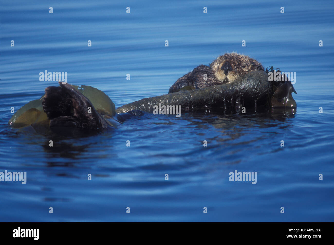 Seaotter Enhydra lutris wrapped in kelp drifting and resting in Kachemak Bay Alaska Stock Photo