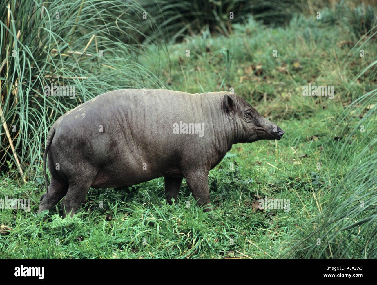 Babirusa Babyrousa babyrussa Sulawesi Captive - Stock Image