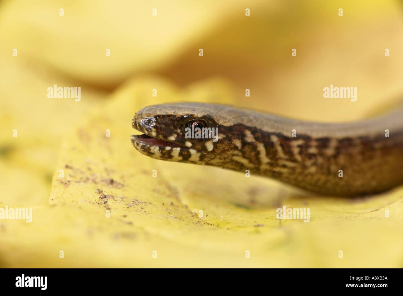 slow worm - portrait / Anguis fragilis Stock Photo