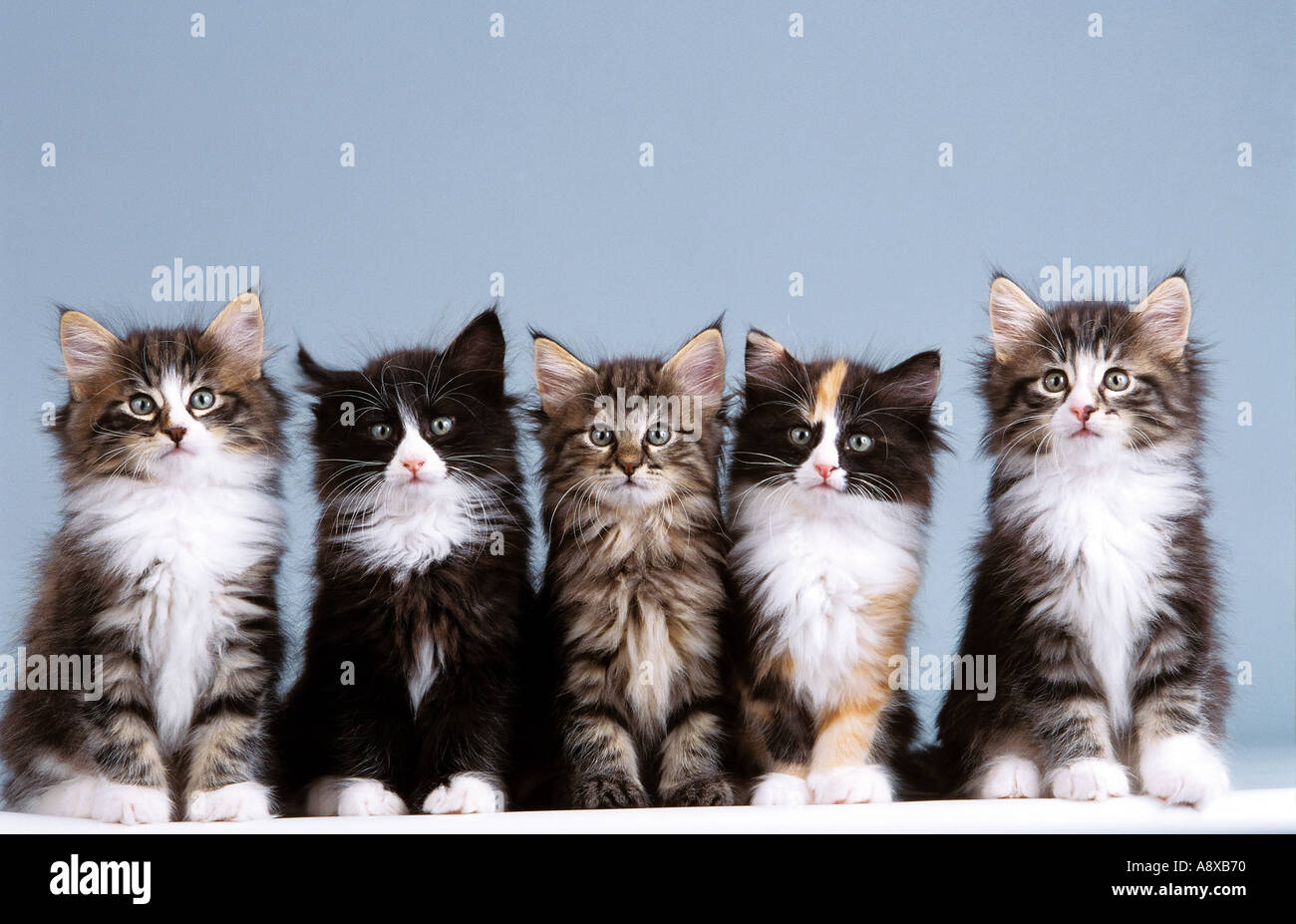 five young norwegian forest cats sitting stock photo 2272111 alamy