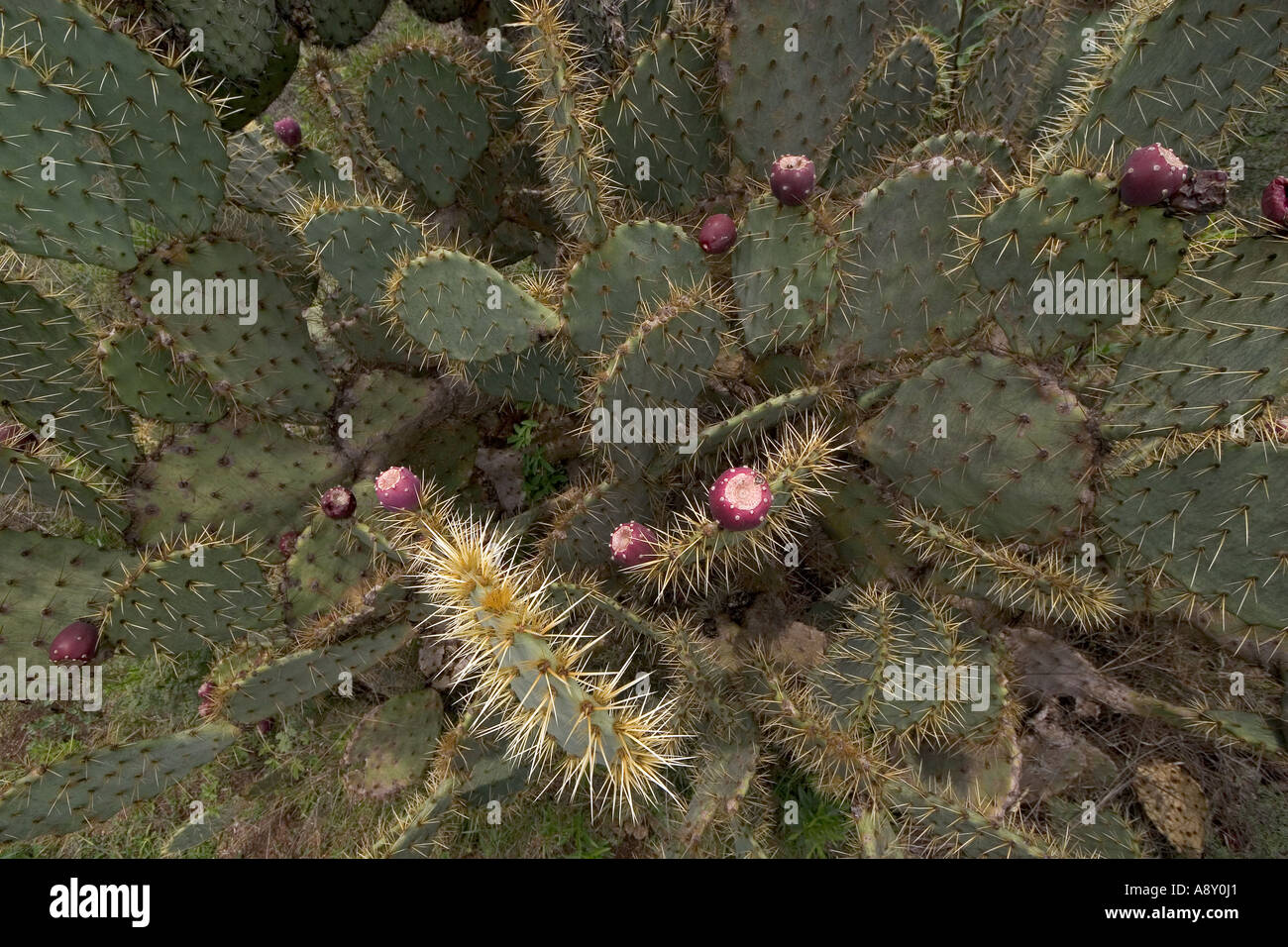 Prickly pear cactus in fructification (Mexico). Opuntia robusta en fruits (Mexique). Stock Photo