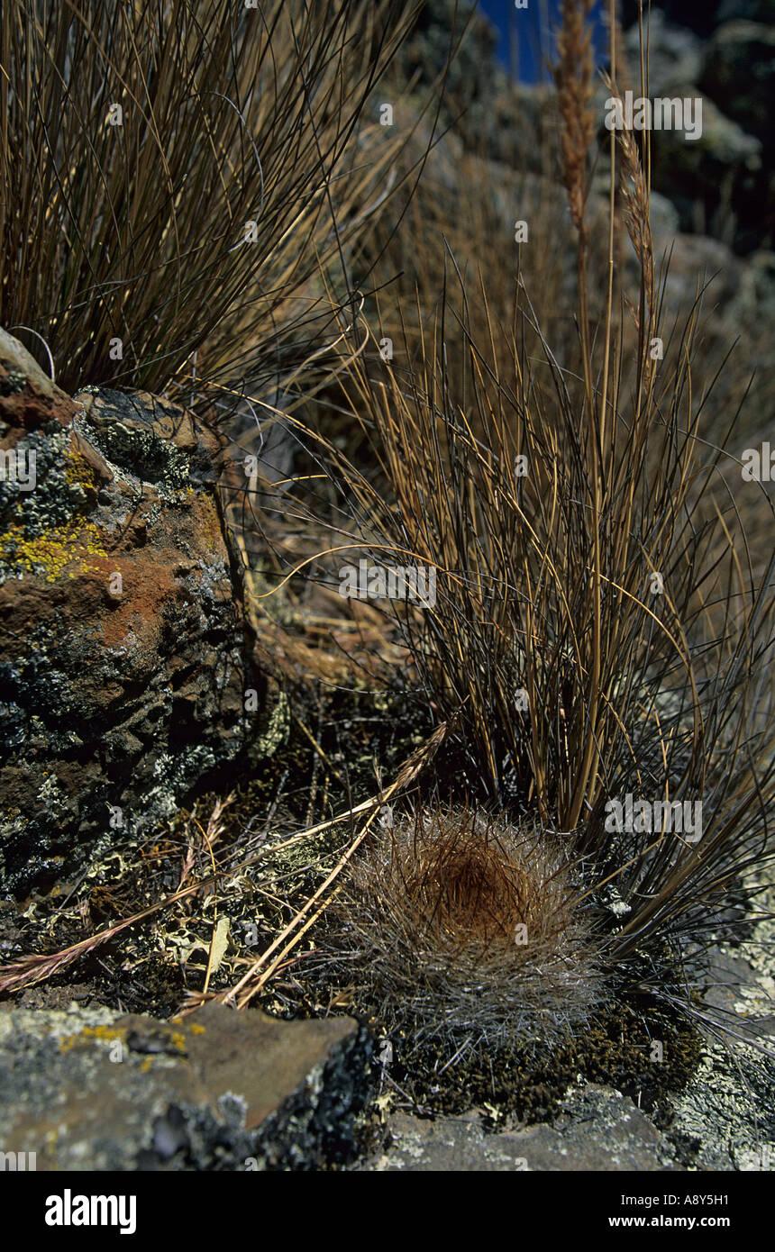 Cactus on the site of Winchus (nature reserve of Huascarán-Peru). Cactus sur le site de Winchus (parc naturel de Huascarán). Stock Photo