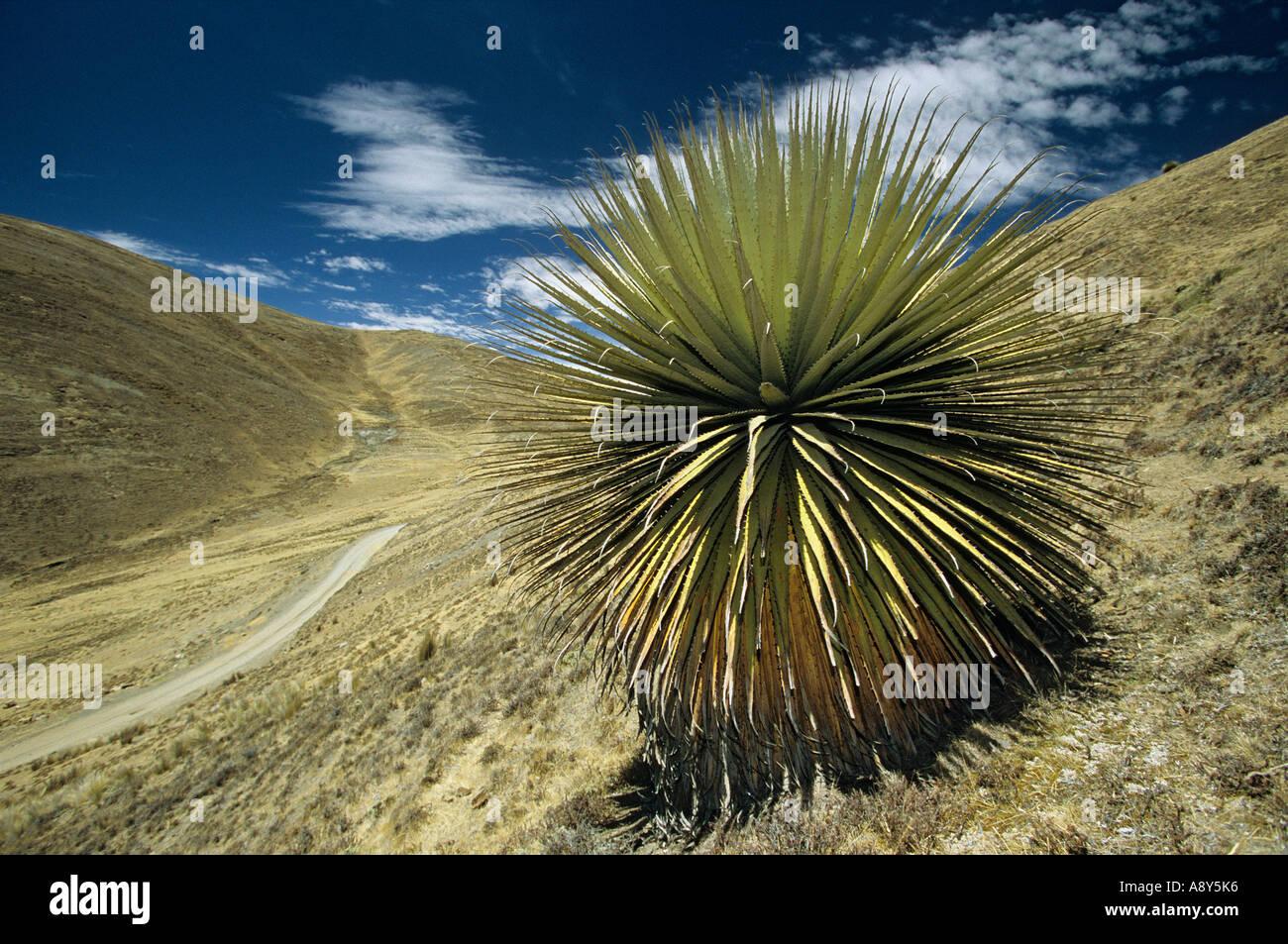 Puya Raimondi (Puya sp) on the site of Winchus (Peru). Puya Raimondi (Puya sp) sur le site de Winchus (Pérou). Stock Photo