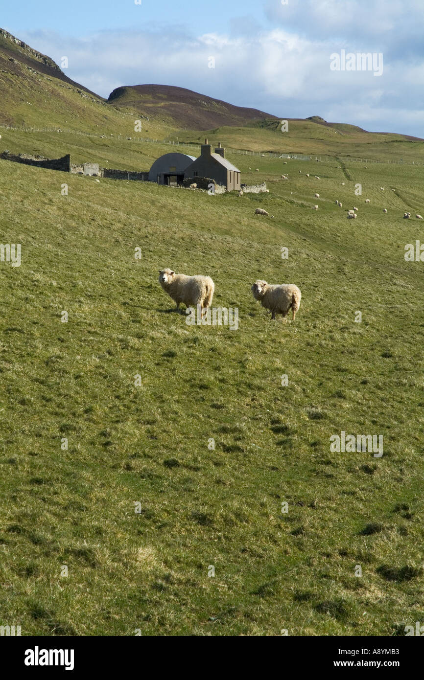 dh  ROUSAY ORKNEY Sheep in hillside field croft cottage farm hill scotland countryside rural Stock Photo
