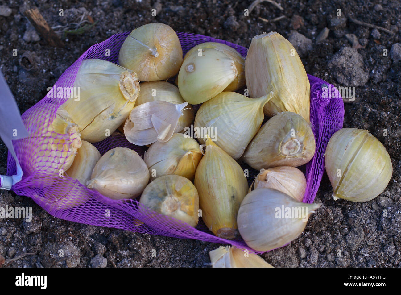 ELEPHANT GARLIC CLOSE UP OF BULBS FOR PLANTING - Stock Image