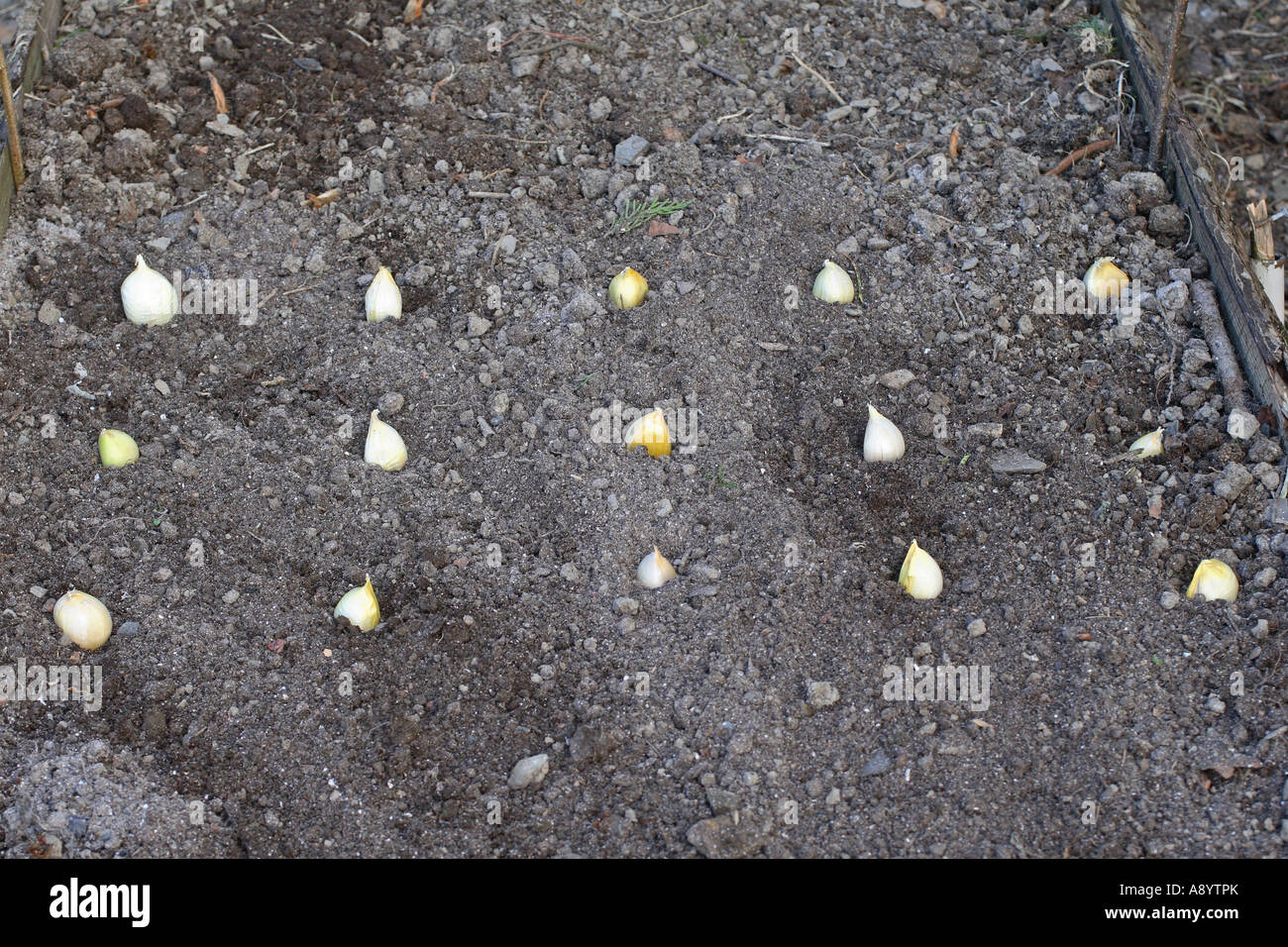 PLANTING ELEPHANT GARLIC STEP 1 PLACE BULBS ON SOIL IN ROWS ABIUT 200MM APART WITH 150MM BETWEEN EACH BULB - Stock Image