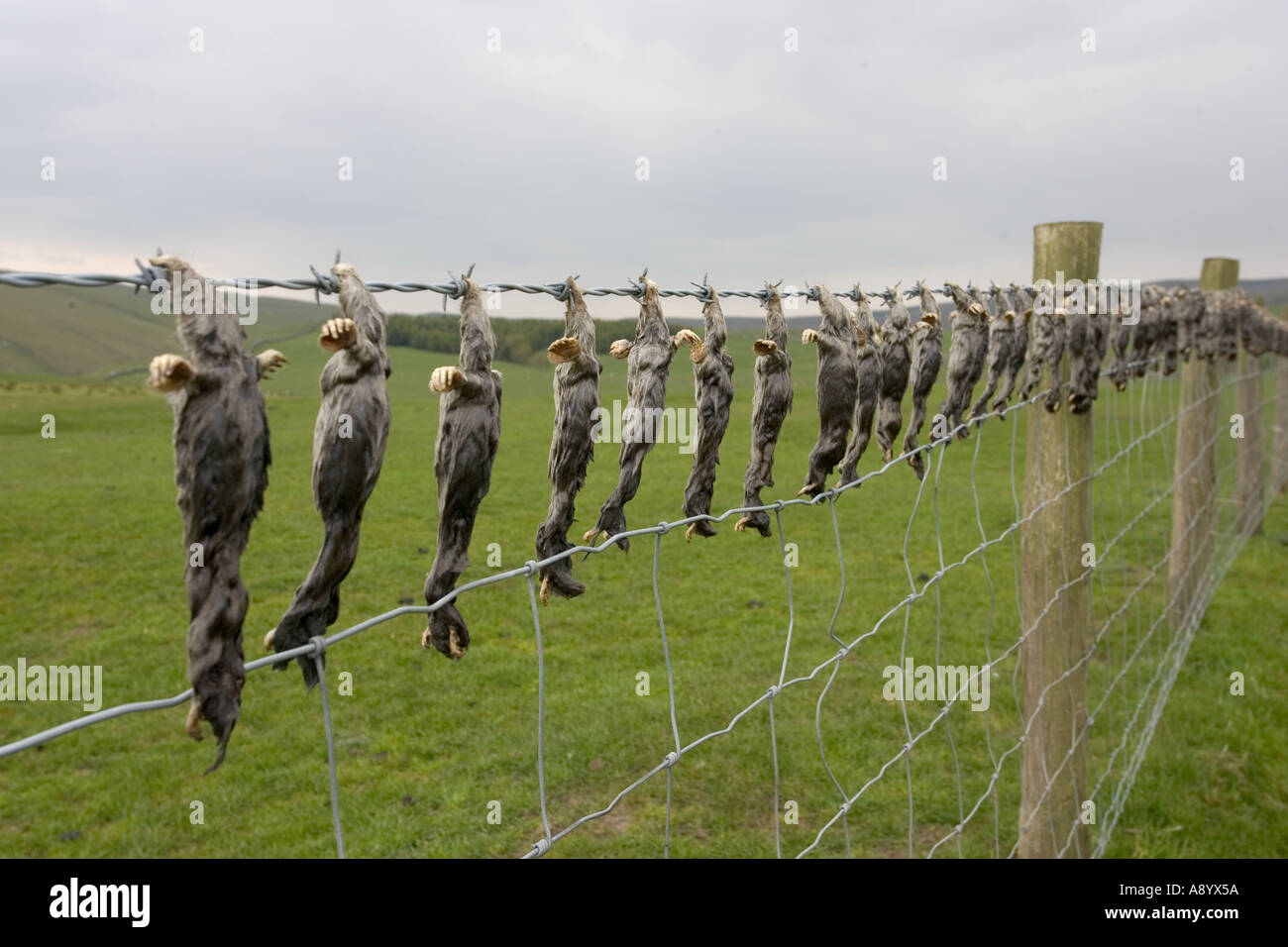 Dead moles hung on barbed wire fence near Settle Yorkshire UK Stock