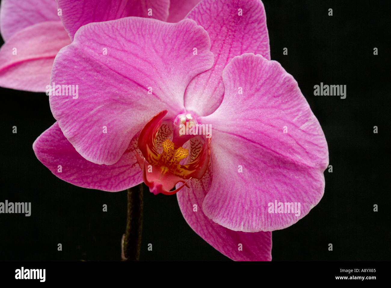 Close up of orchid showing anatomy of flower with mauve petals and ...