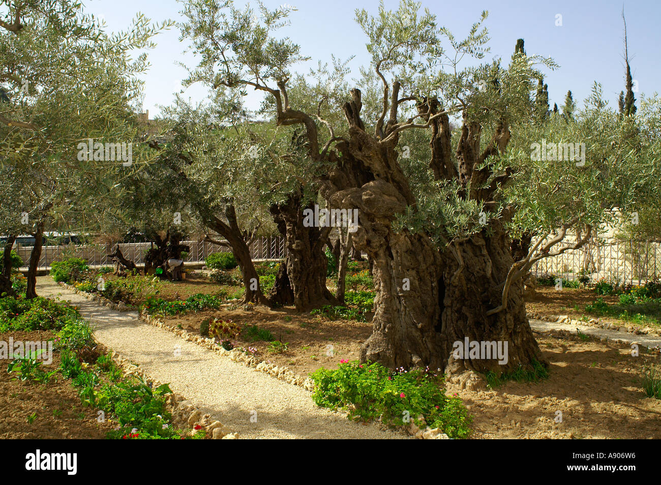 Olive trees in the garden of Gethsemane in the grounds of the Stock ...