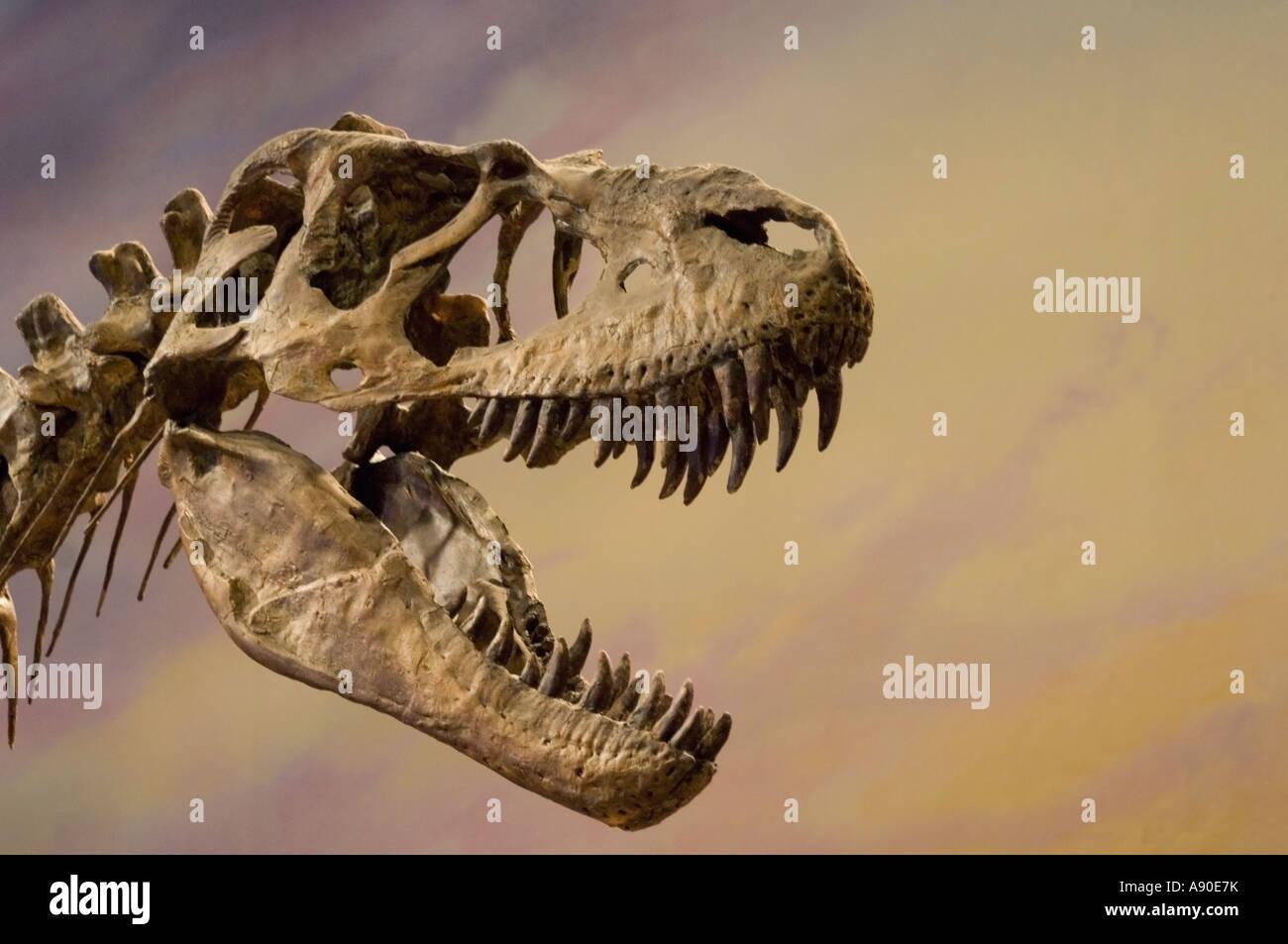 Albertosaurus dinosaur skelteon exhibit - Stock Image