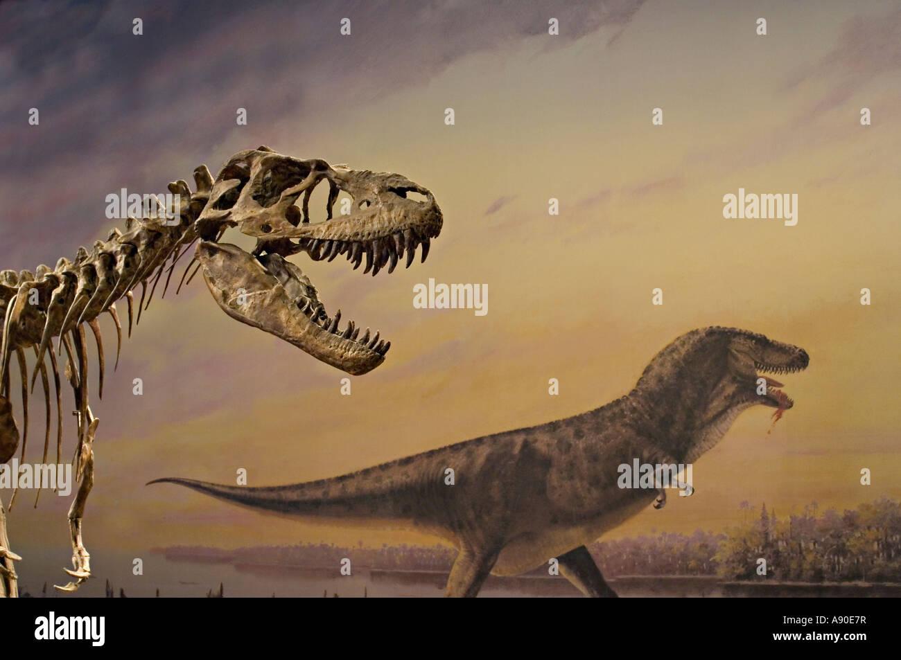 Albertosaurus dinosaur skeleton exhibit - Stock Image