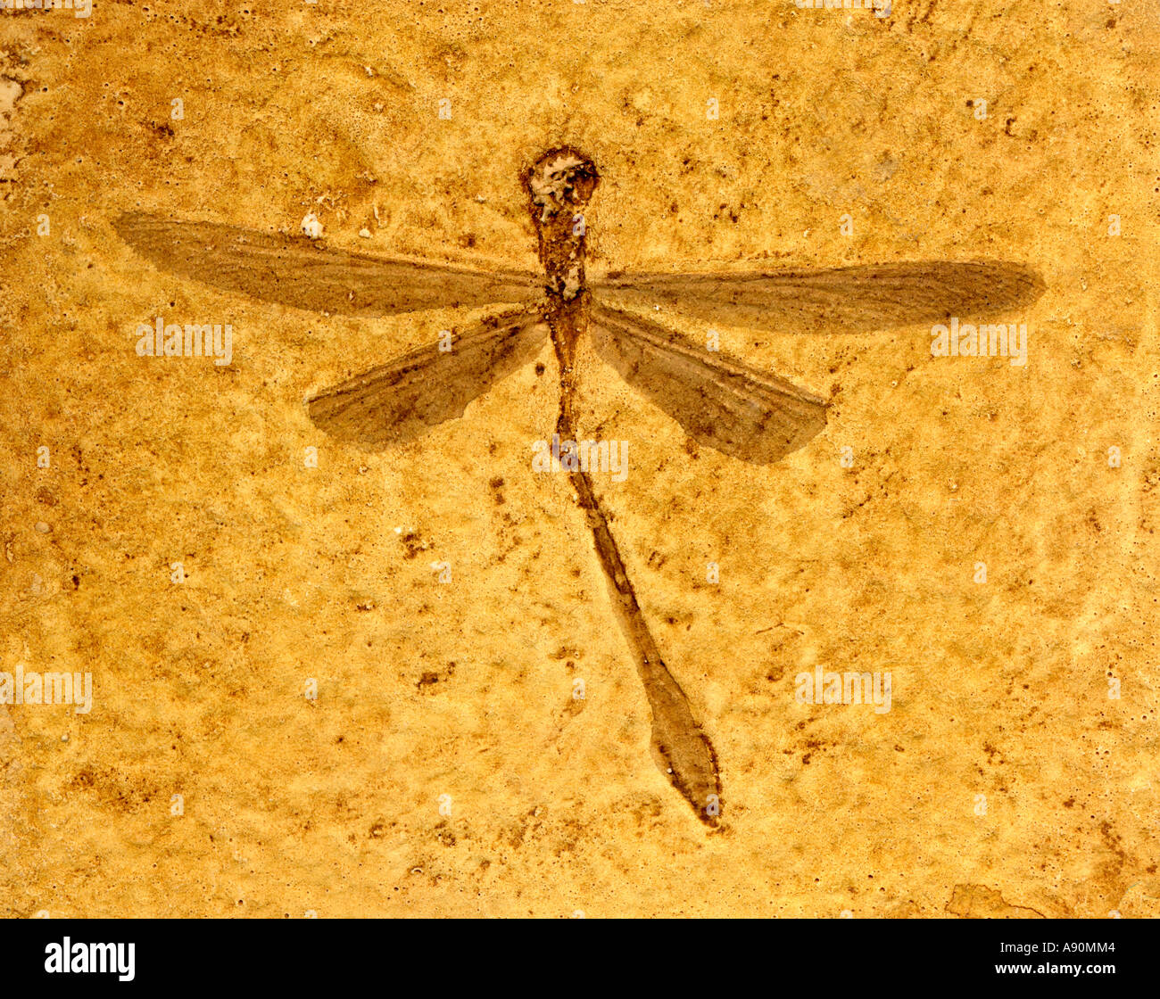 Fossil Dragonfly (Stenophlebia aequalis) 140 million years old.  Plaster cast - Stock Image