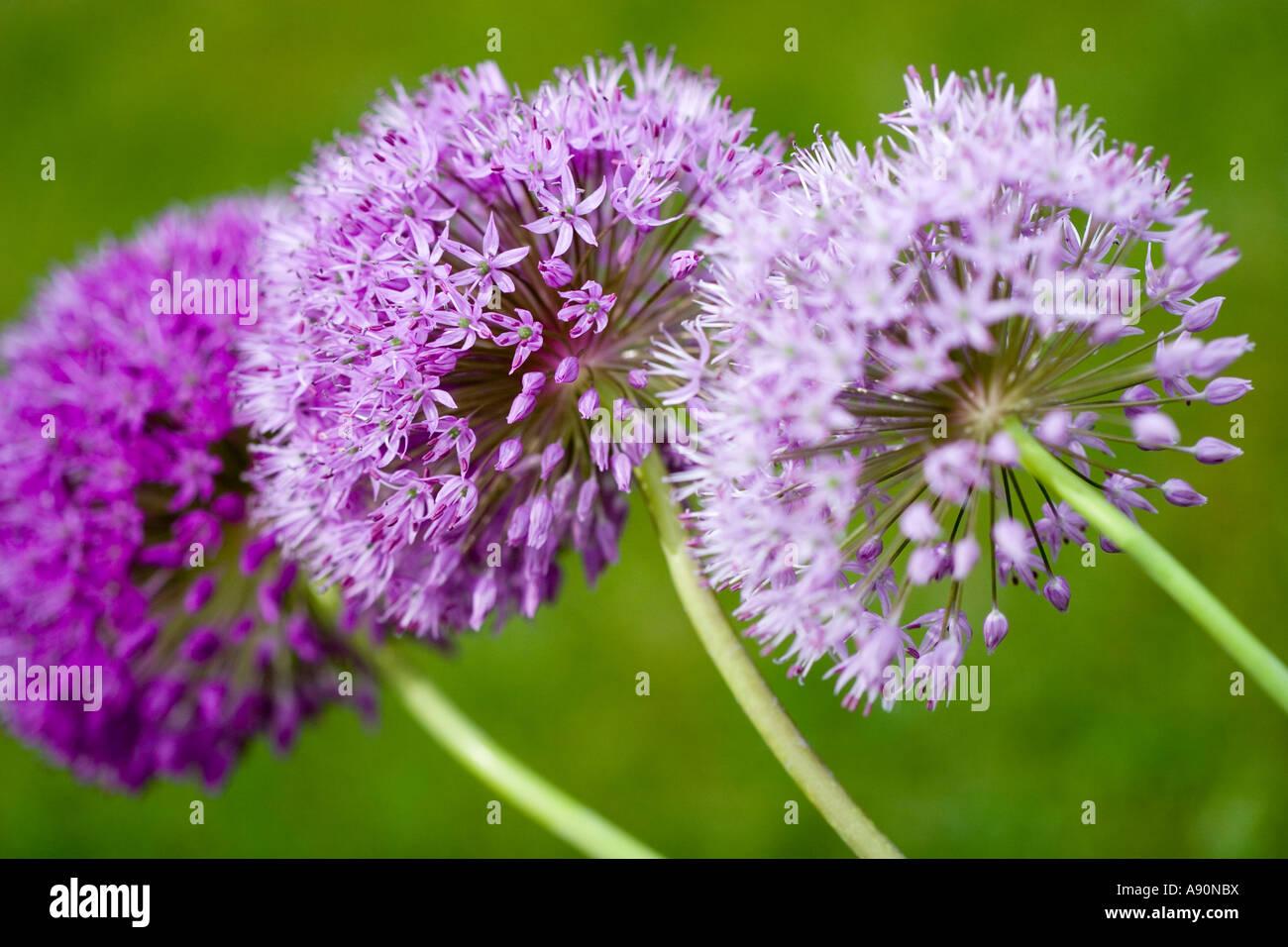 Trio of Alliums - Stock Image