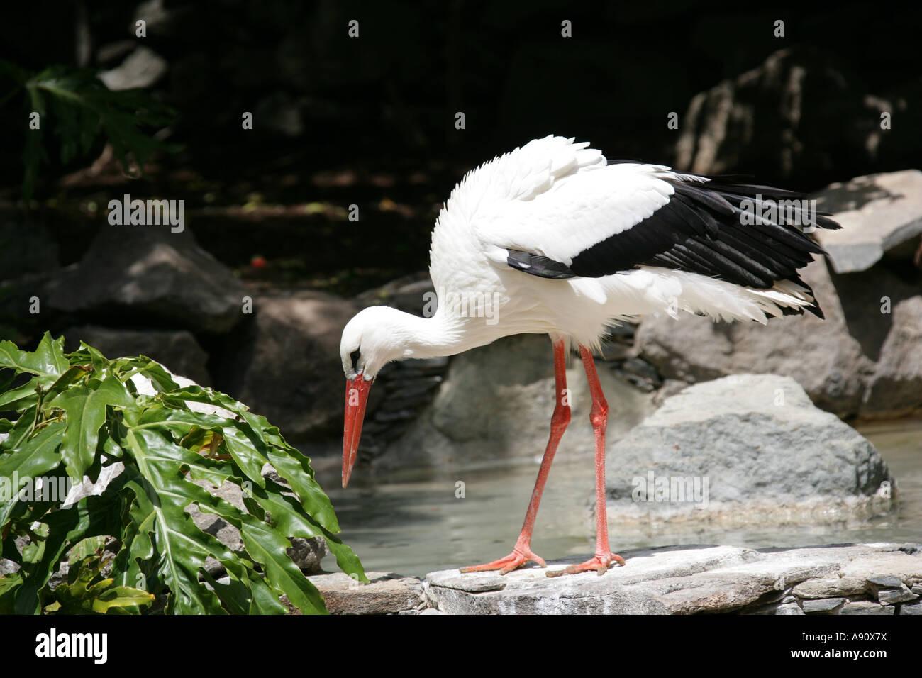 White Stork, Ciconia ciconia, Ciconiidae Stock Photo