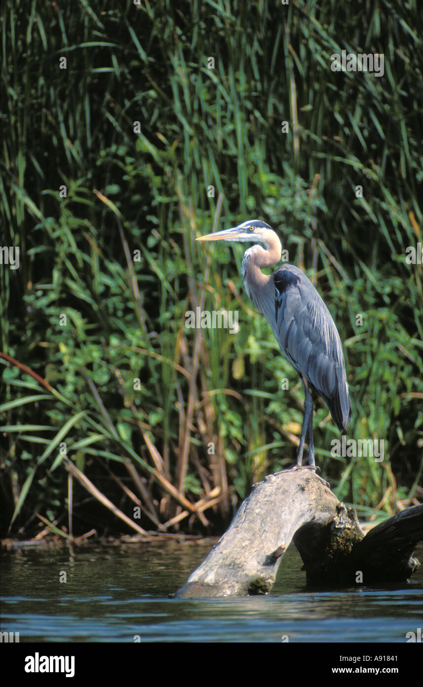 Great Blue Heron on a log along the Fox River in Chain O Lakes State Park Illinois - Stock Image
