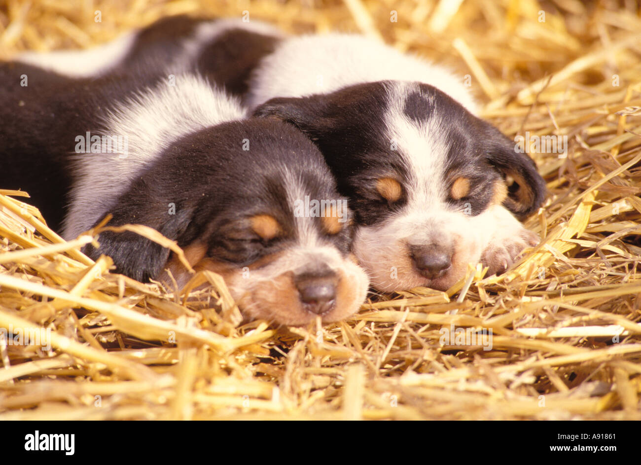 Beagle puppies sleeping - Stock Image