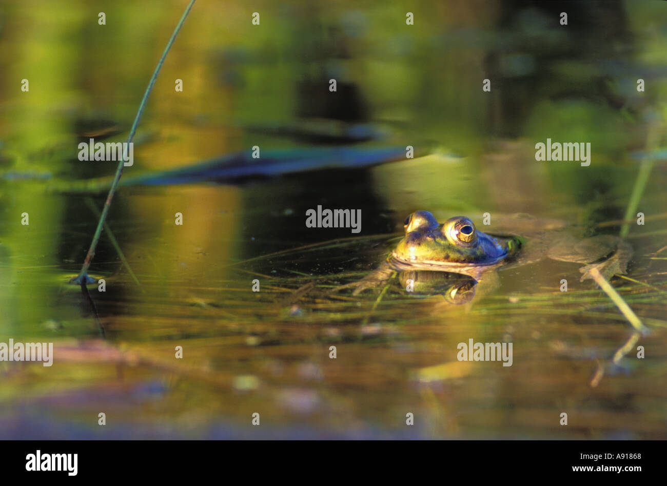 Bull Frog and green reflections at Volo Bog State Natural Area Illinois - Stock Image