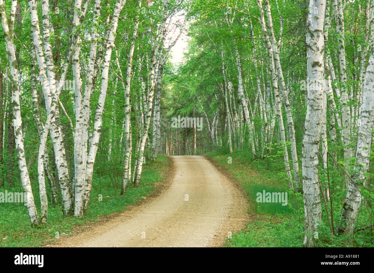 Road through a birch forest in Zippel Bay State Park Minnesota Stock Photo