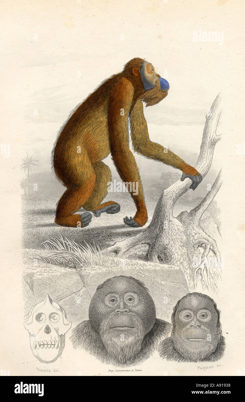 The Orang Utan, drawn by Edouard Travies, engraved by Paquien Stock Photo
