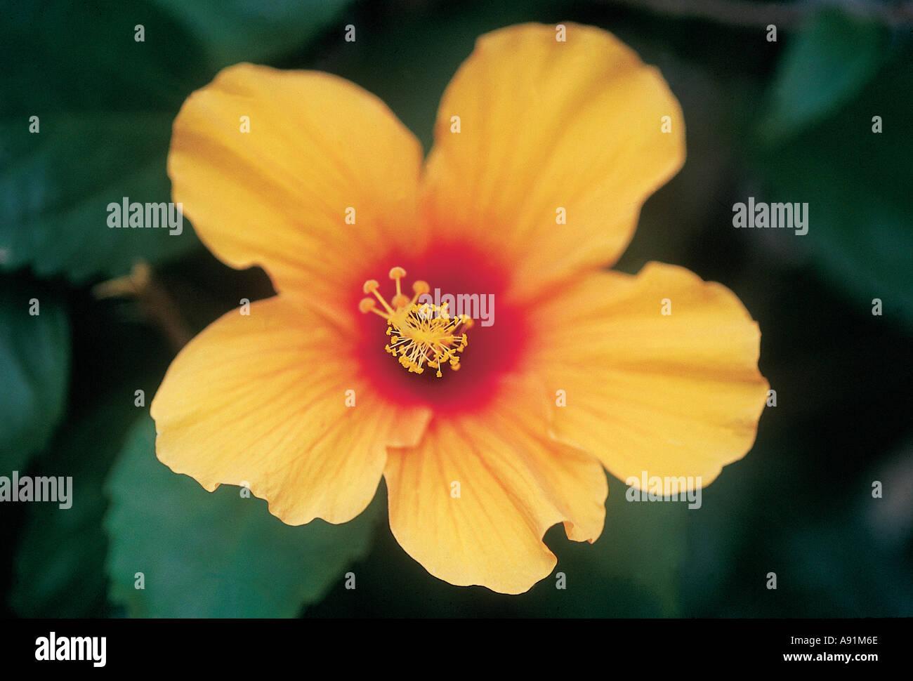 Nmj99799 yellow flower five petals sri lanka ceylon stock photo nmj99799 yellow flower five petals sri lanka ceylon mightylinksfo