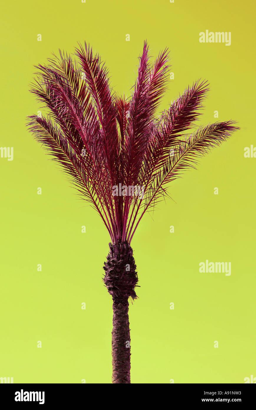 palms atlantic sea canary islands Palmen am Atlantik Meer Kanarische Inseln - Stock Image
