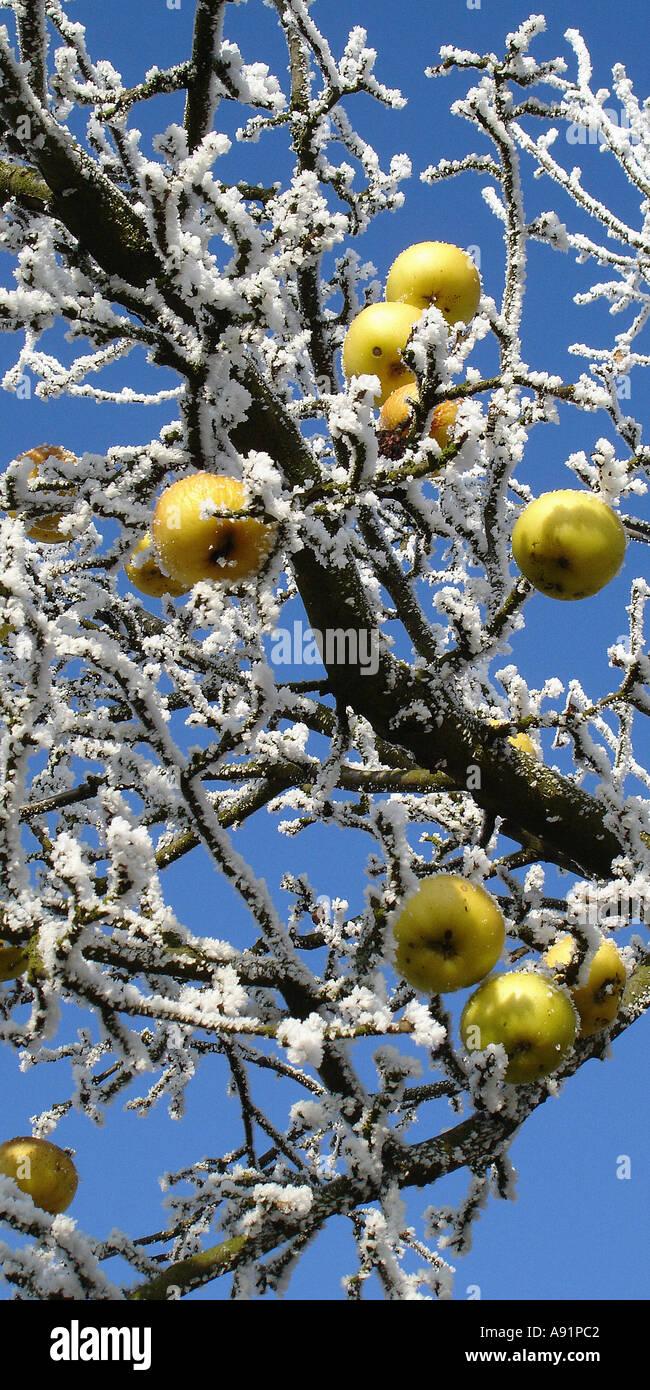 frozen apples on a tree gefrohrene Äpfel an einem Baum - Stock Image