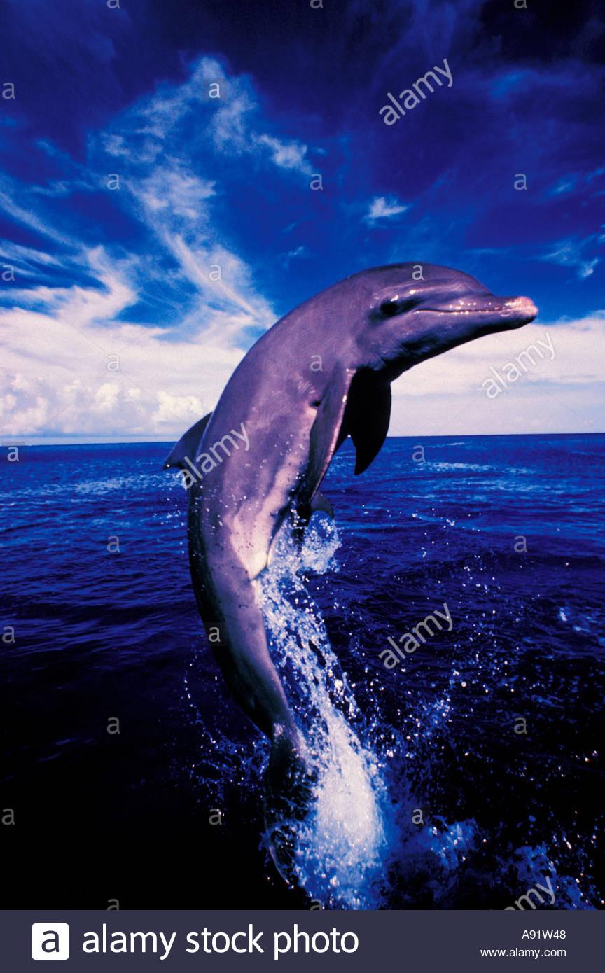 Caribbean, Bottlenose dolphin (Tursiops truncatus); color infrared ...