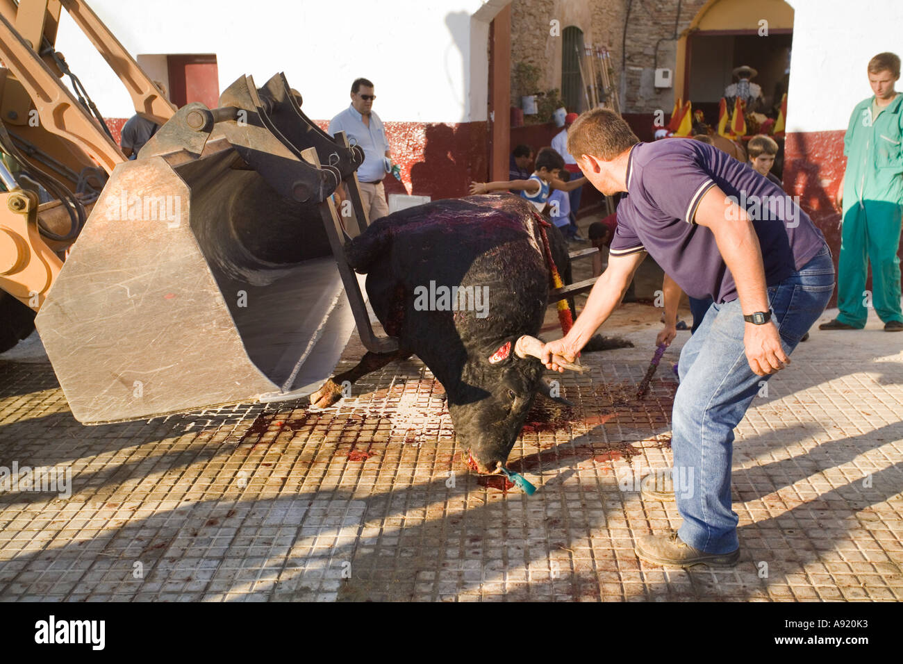dead bull taken from bullring in Tarifa with blood on pavement or blood on the sidewalk with spectators and children watching - Stock Image