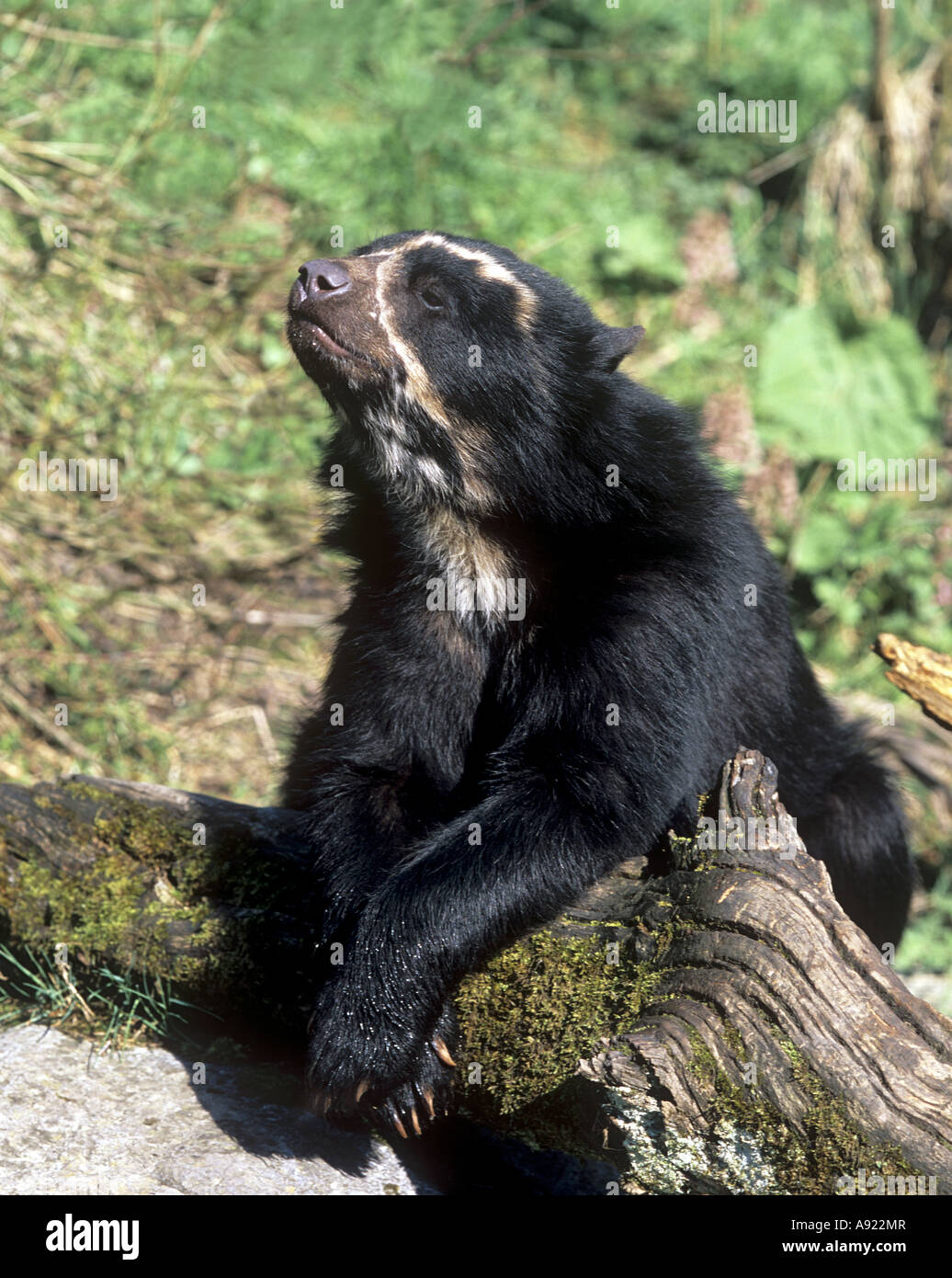 young spectacled bear - lying / Tremarctos ornatus Stock Photo