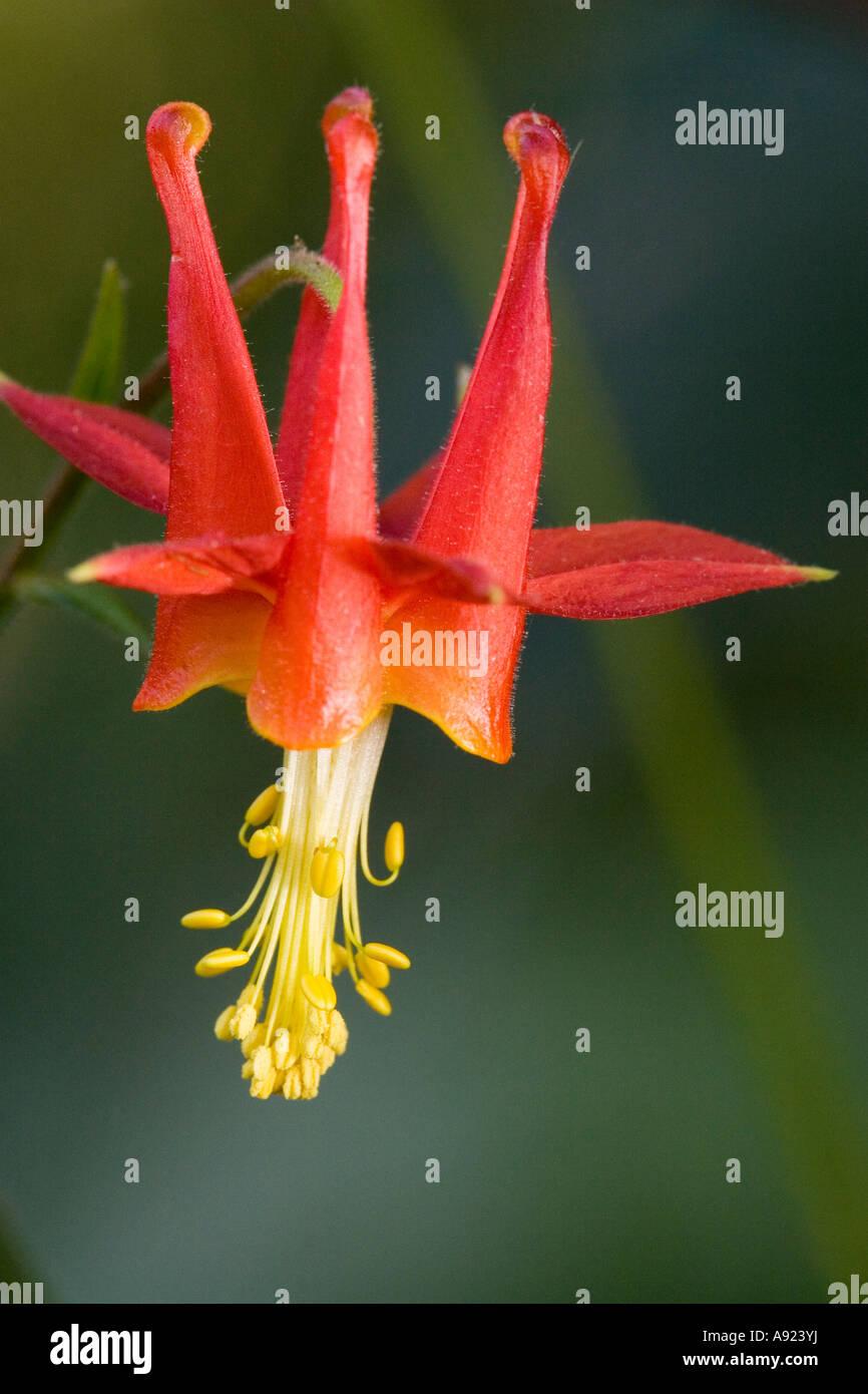 Western Columbine Flower In Bloom Stock Photo 12225461 Alamy