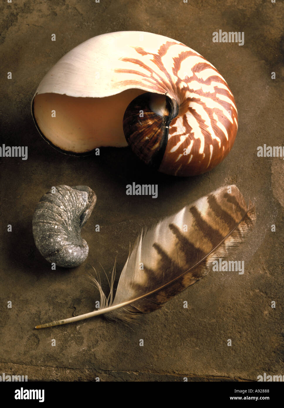 Nautilus Shell, fossil and feather still life. Meant to represent patterns in nature and evolutionary time. NATURAL SELECTION - Stock Image
