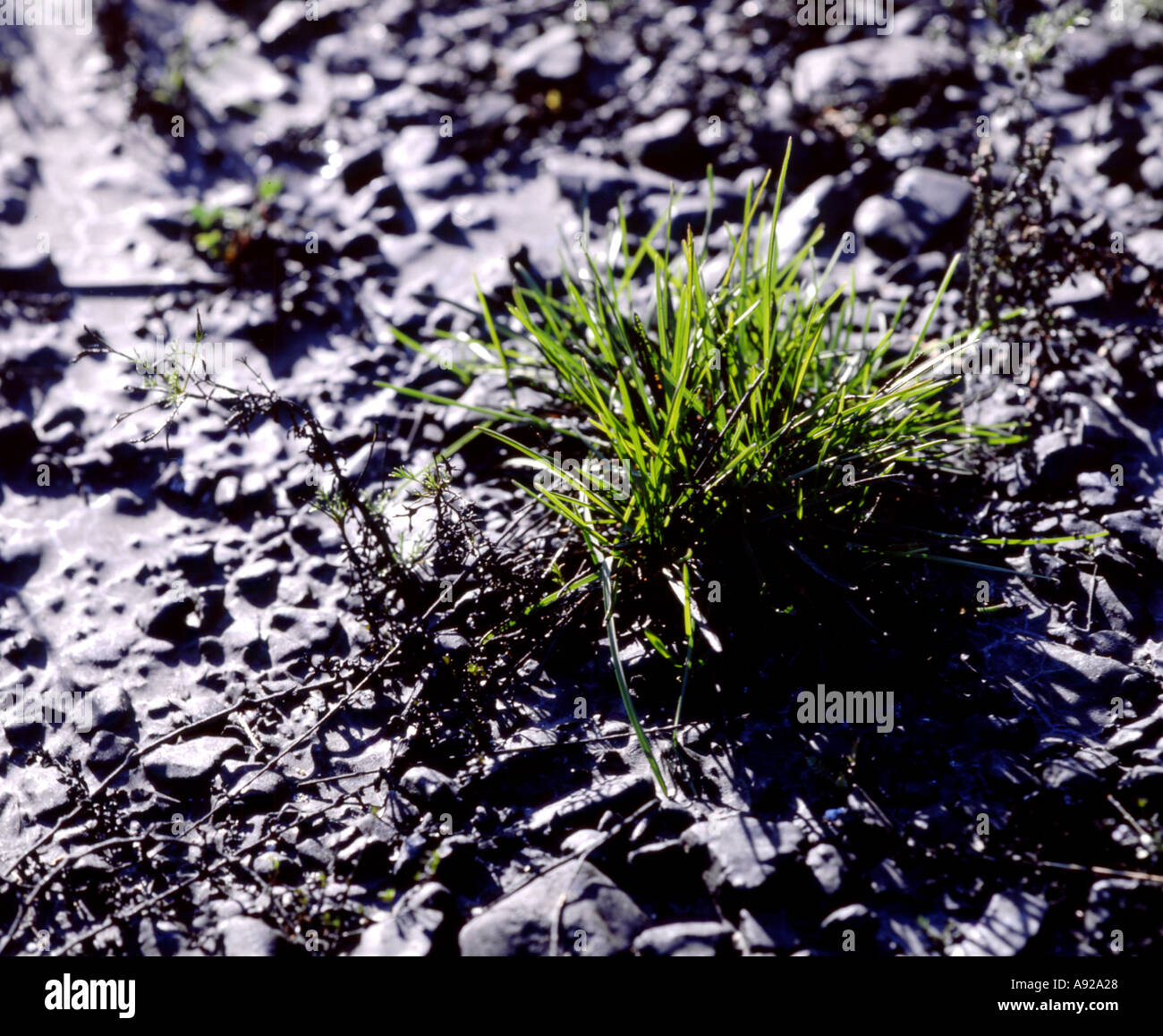 pollution oil oil pollution earth soil ground gras growing survive - Stock Image