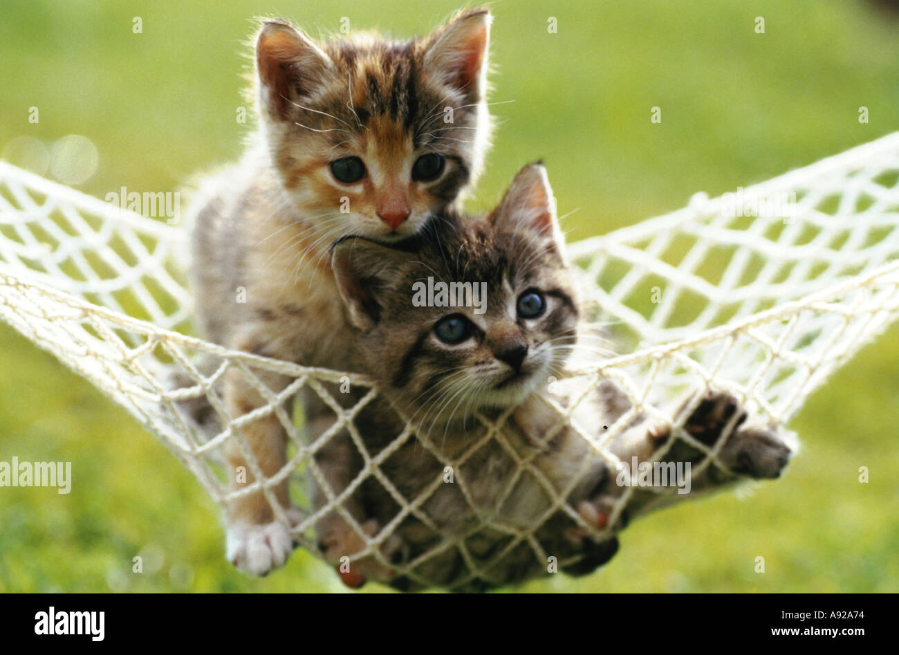 two young cats in a hammock - Stock Image
