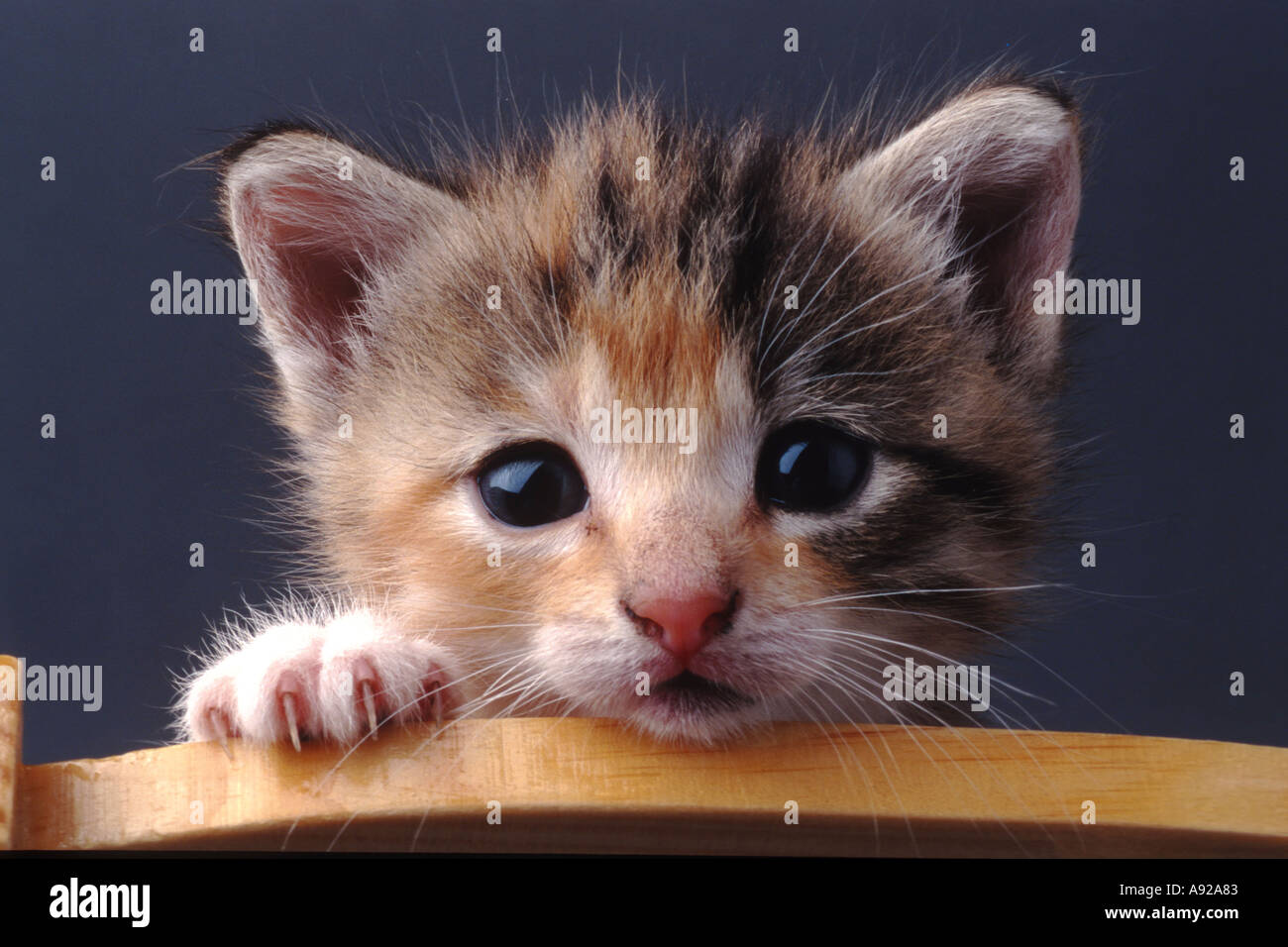 baby animal cat kitten kitty cats kittens outdoor animal domestic pet zoology gentle soft fluffy little sweet playful funny humo - Stock Image