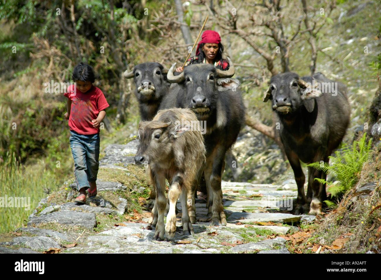 Three ox and a calw are driven on a path Landruk near Pokhara Nepal - Stock Image