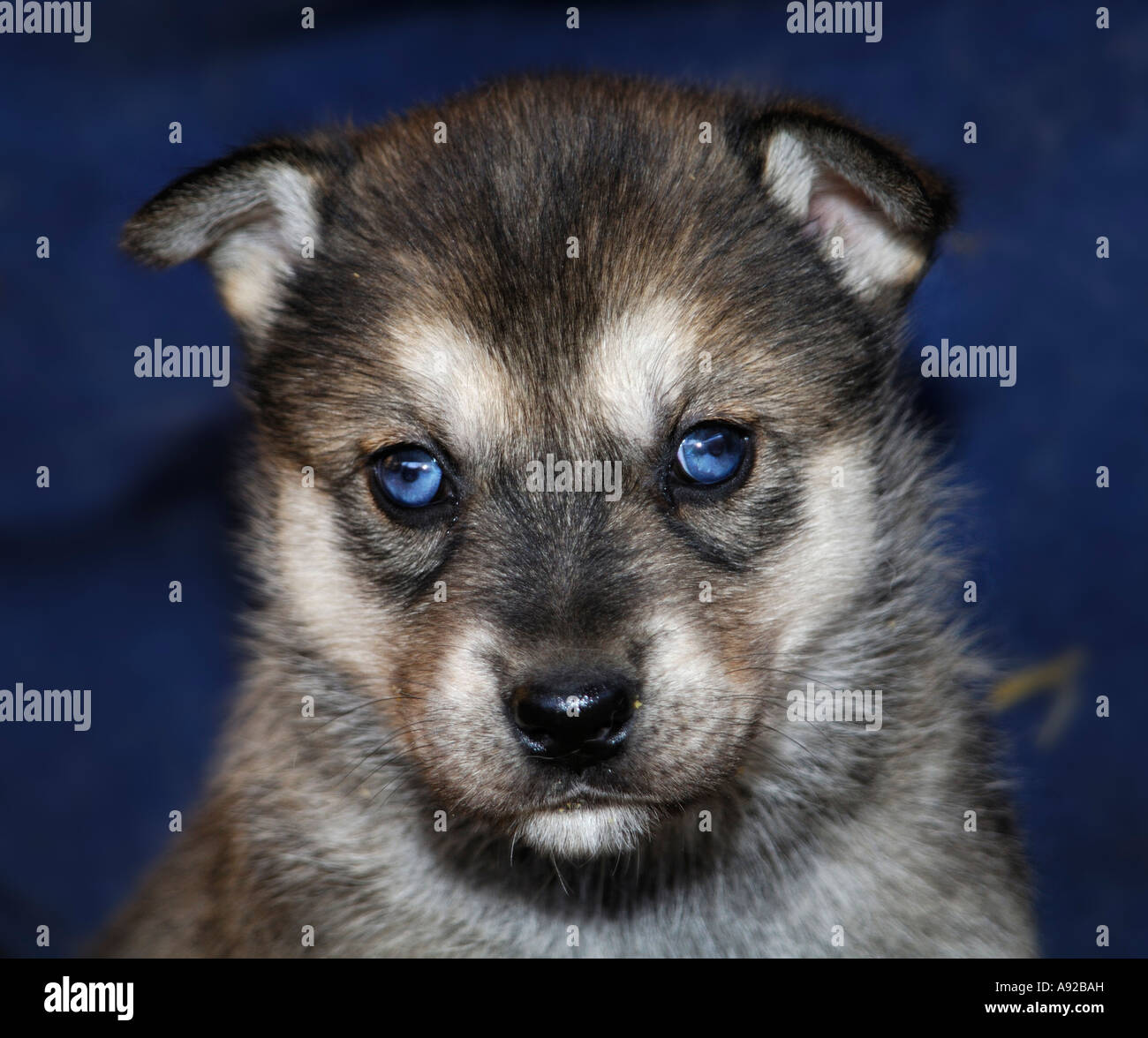 Blue-eyed Husky pup - Stock Image
