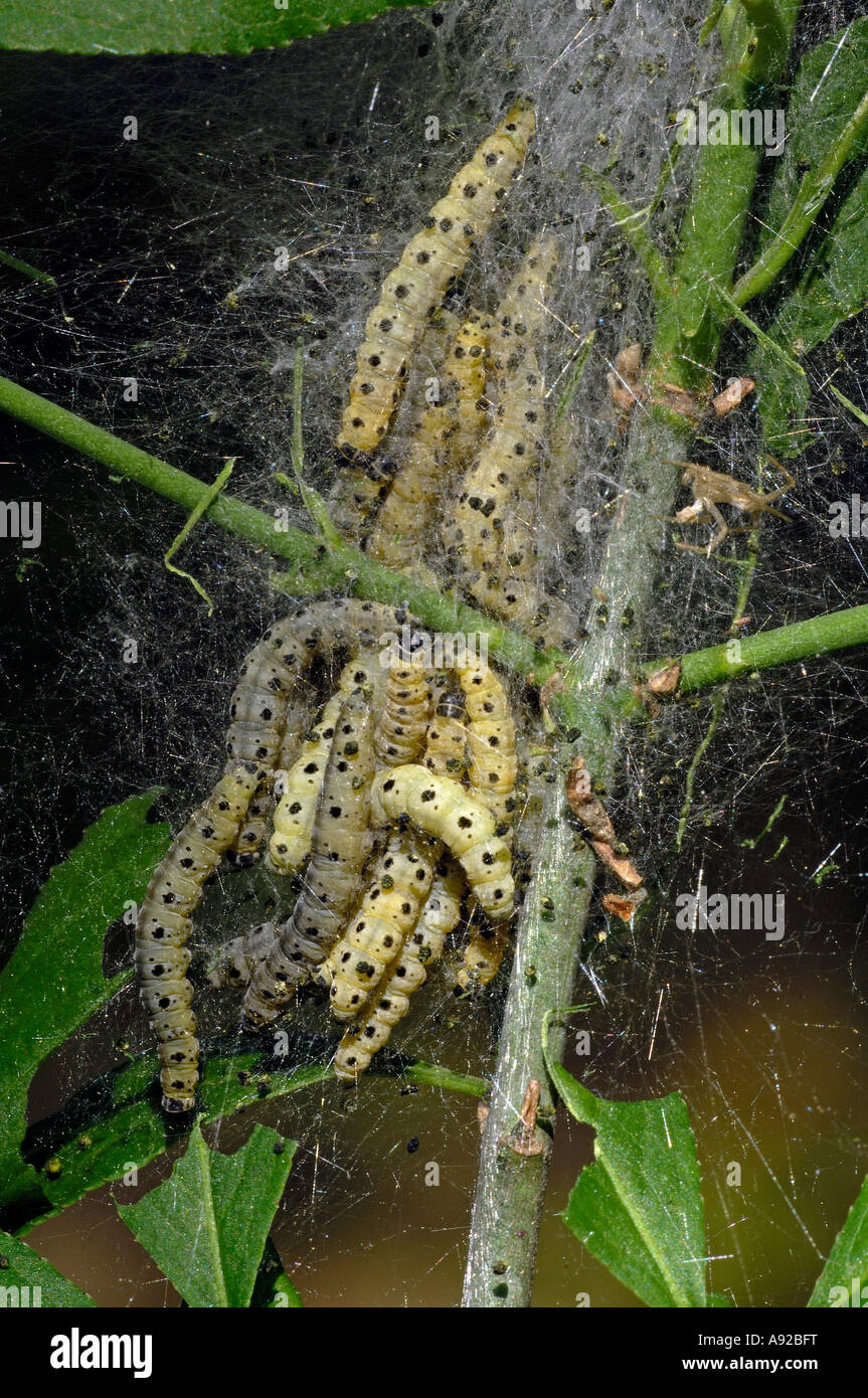 Caterpillars of Yponomeuta evonymellus - Stock Image