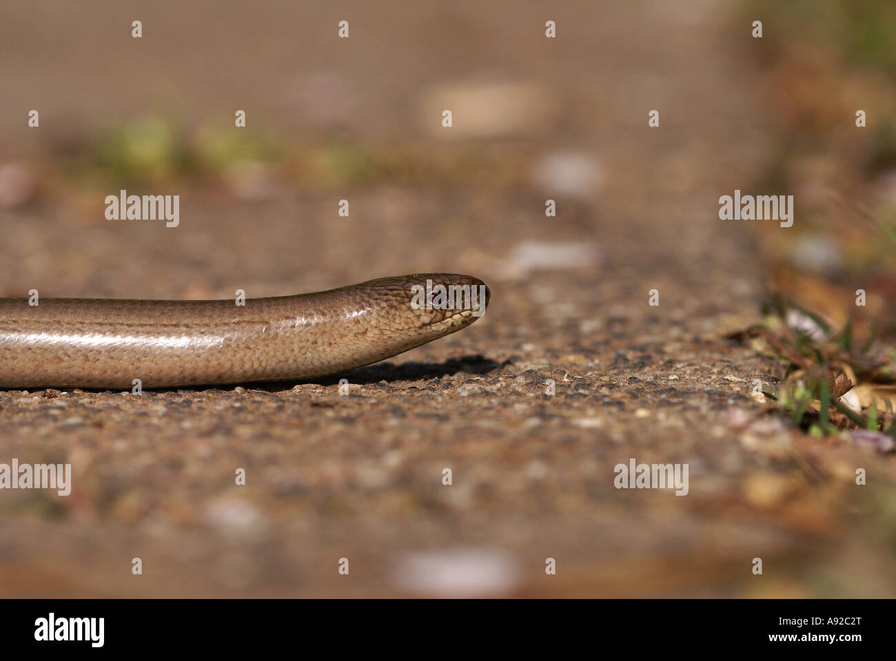 Blindworm (Anguis fragilis) Stock Photo