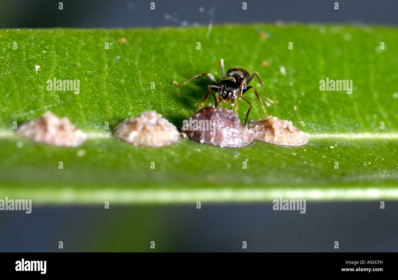 Ant (formidicae) fostering female scales (Coccoidea) sitting on leaf of oleander (nerium oleander) - Stock Image