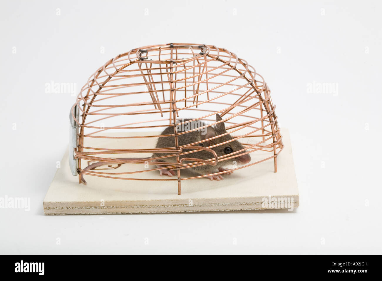 House mouse (mus musculus) in a trap Stock Photo