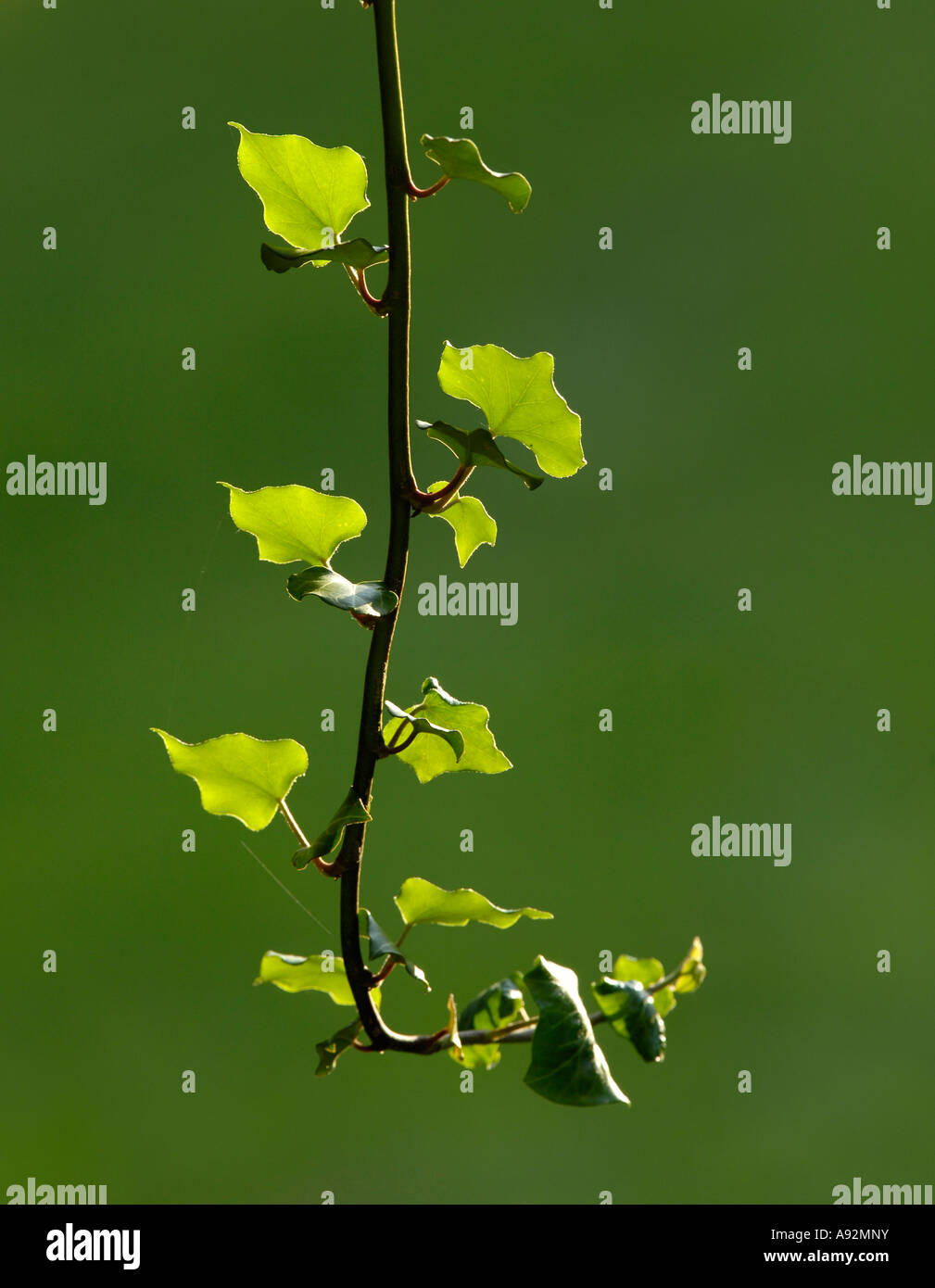 Ivy (hedera helix) Stock Photo