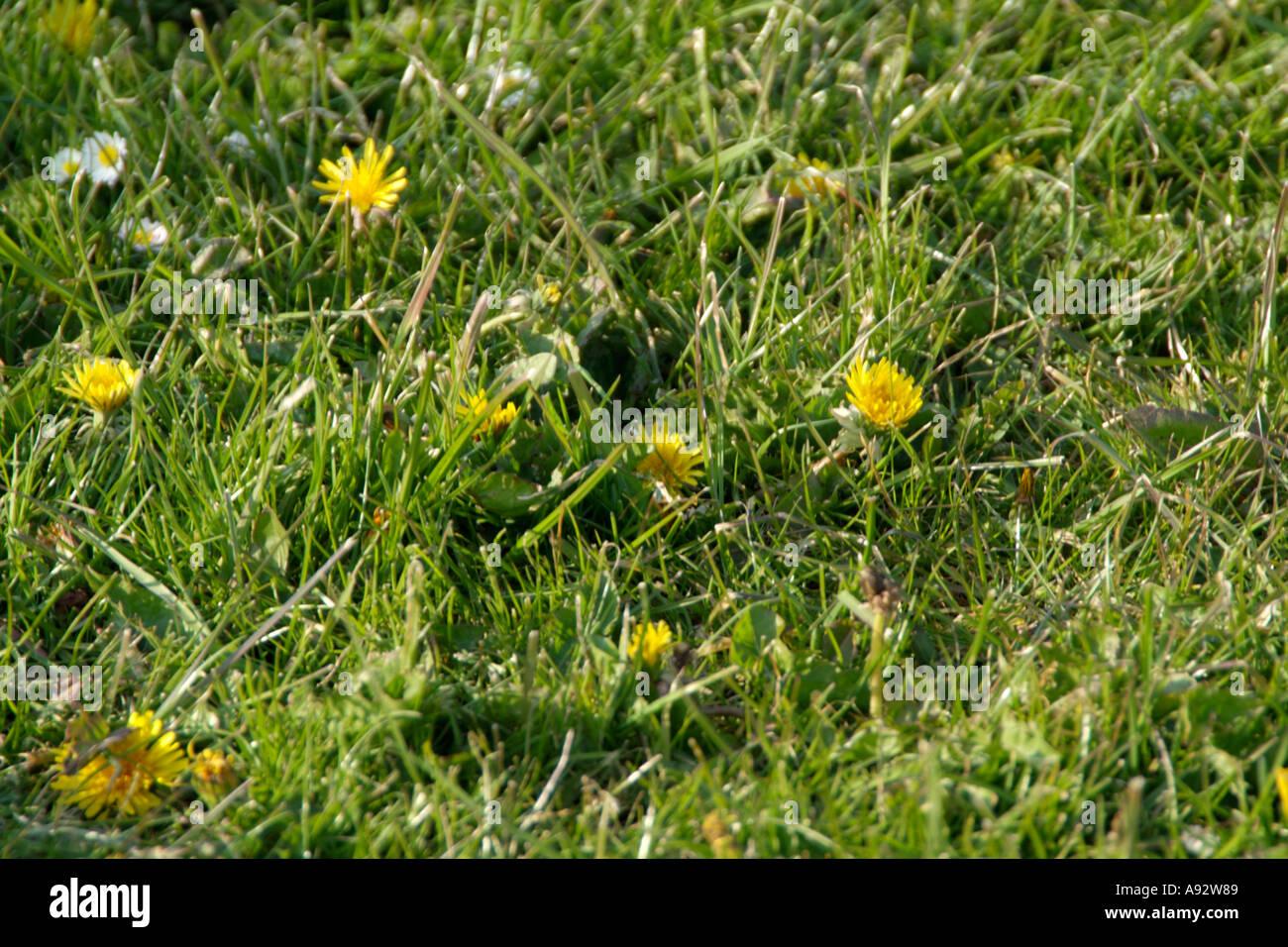 Dandylion Weed Weeds Grass Lawn Stock Photos Dandylion Weed Weeds