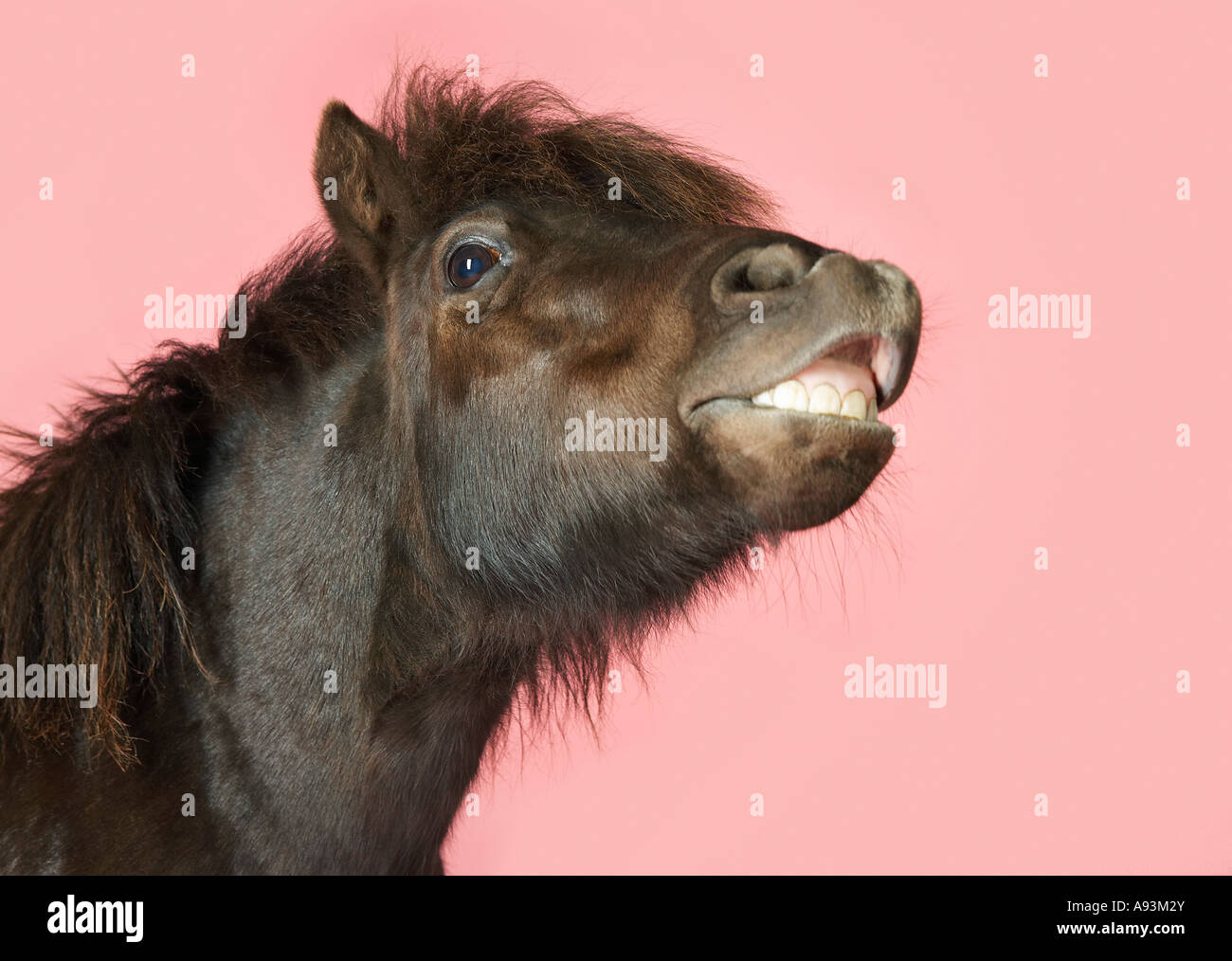 Snarling horse against pink background, close-up head - Stock Image