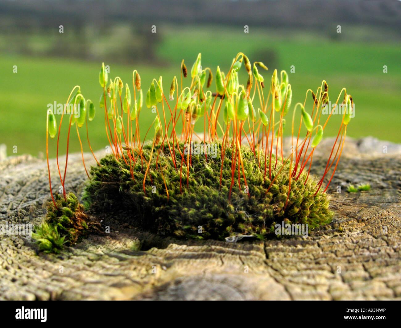 Moss growing on wooden gatepost in farm field gateway in Newport South Wales UK - Stock Image