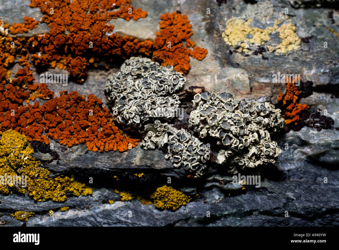 Macro Image of Lichen, Perito Moreno National Park, Southern Andean Patagonia, Santa Cruz, Argentina - Stock Image